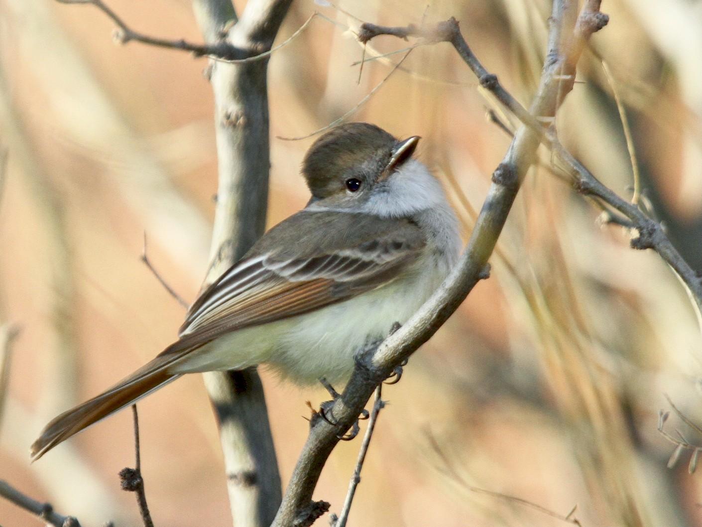 Nutting's Flycatcher - Matthew Grube