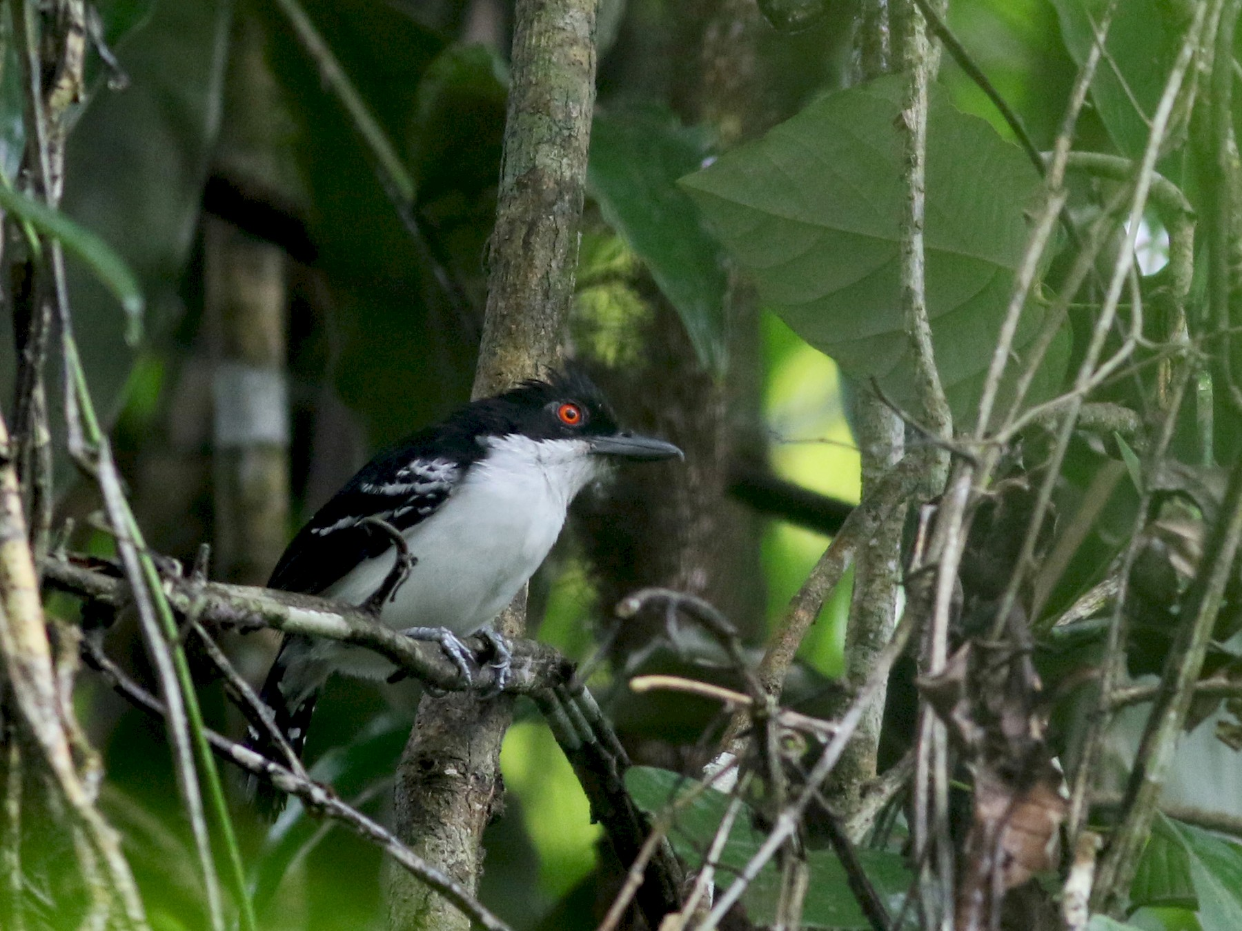 Great Antshrike - Jay McGowan