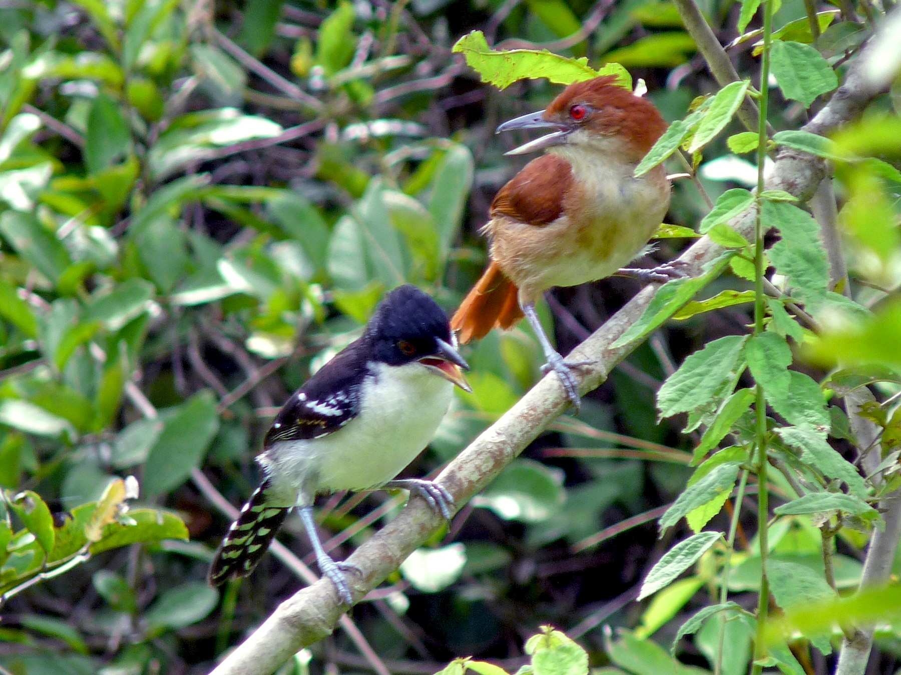 Great Antshrike - David Bree