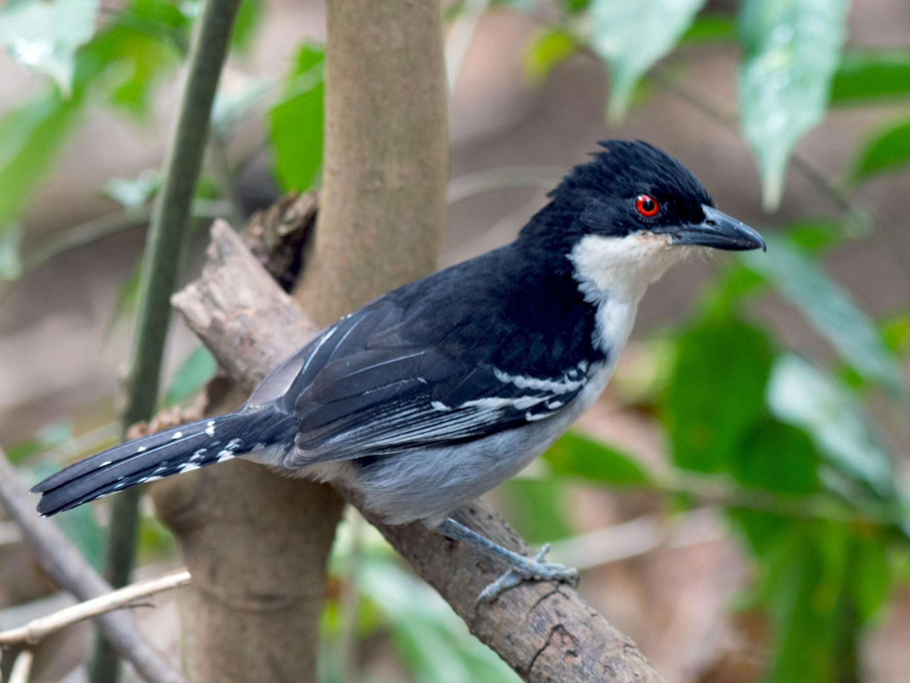 Great Antshrike - Hudson - BirdsRio