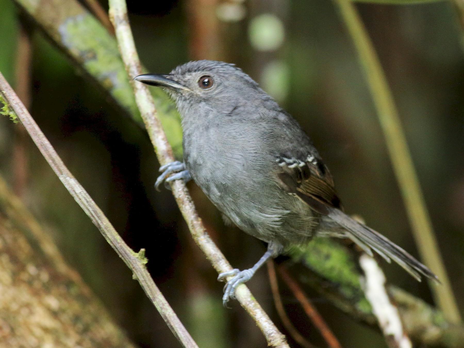 Dusky Antbird - Rick Folkening