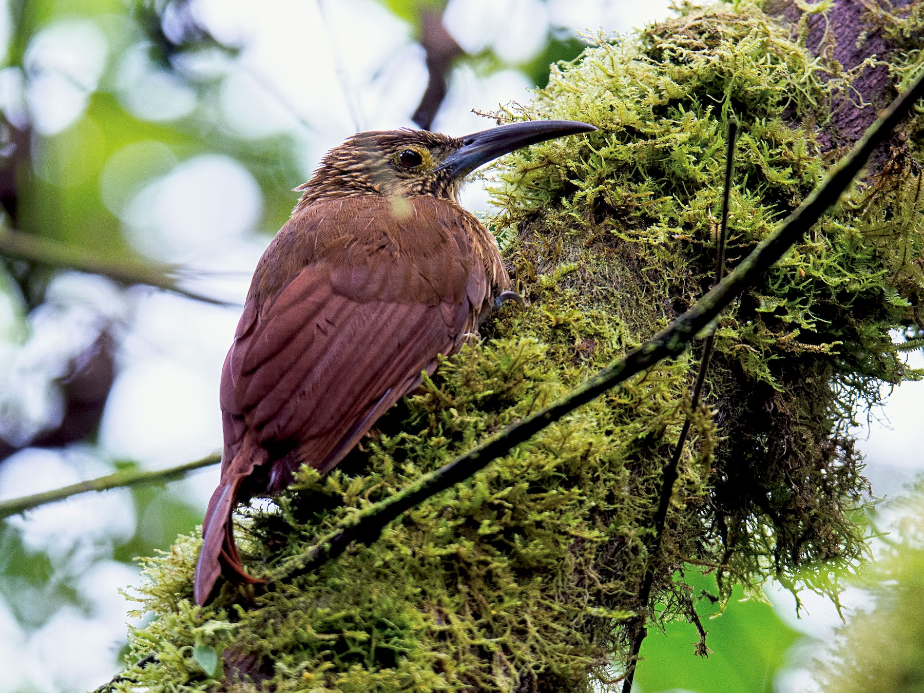 Strong-billed Woodcreeper - Shailesh Pinto