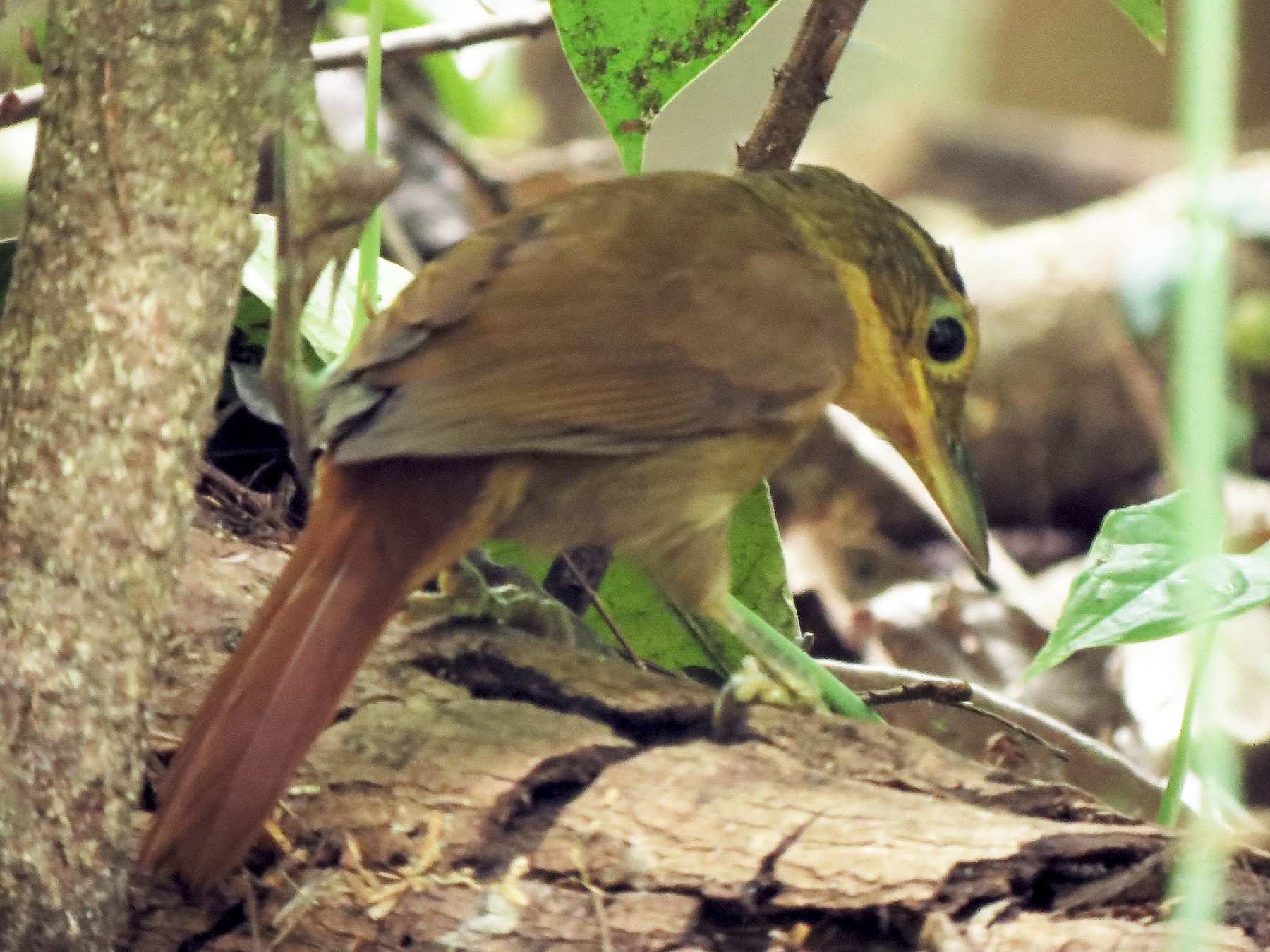 Chiriqui Foliage-gleaner - Stephen McCullers