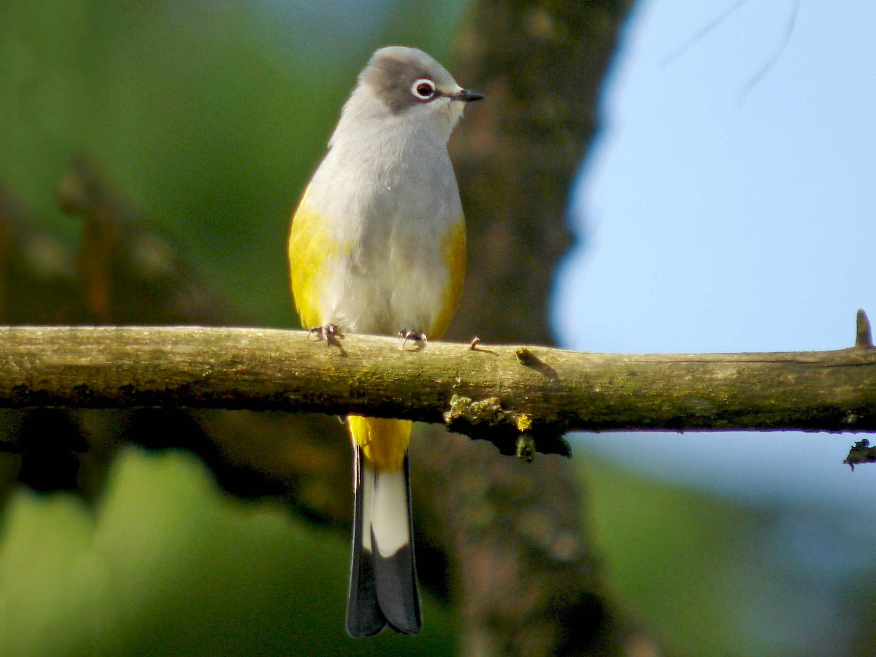 Gray Silky-flycatcher - Jay McGowan