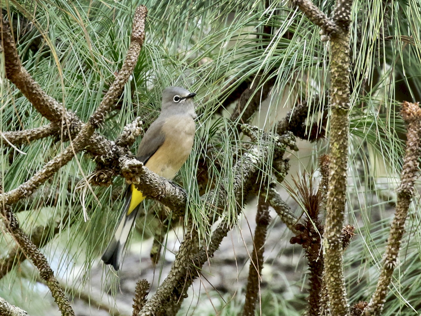 Gray Silky-flycatcher - Dave Bengston