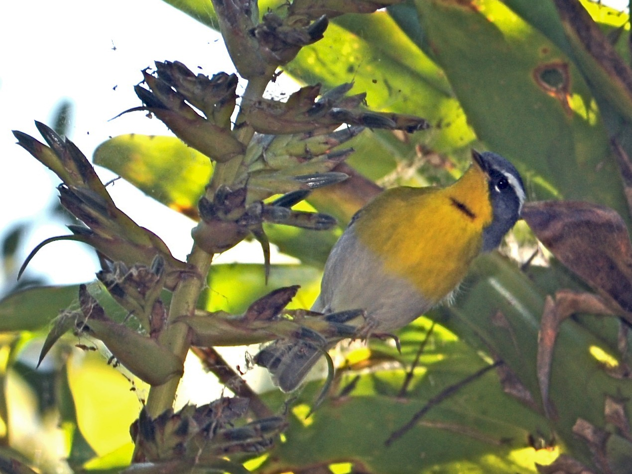 Crescent-chested Warbler - Alan Van Norman