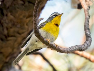 - Crescent-chested Warbler