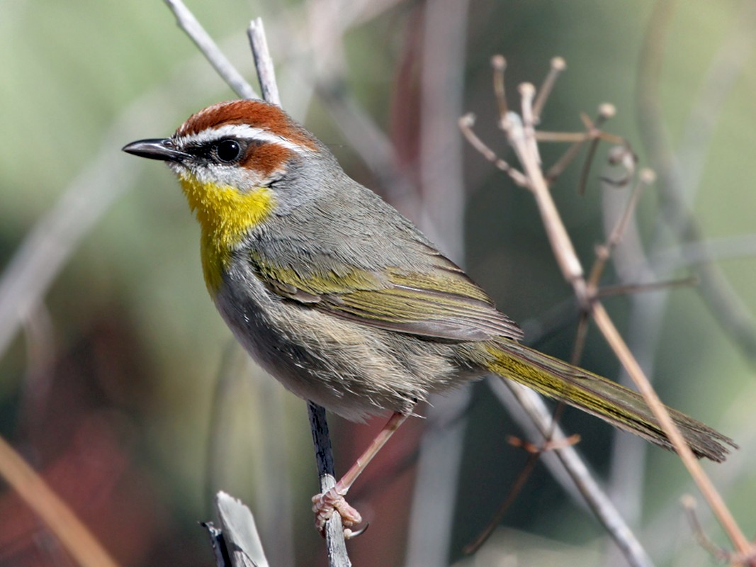 Rufous-capped Warbler - Dick Dionne