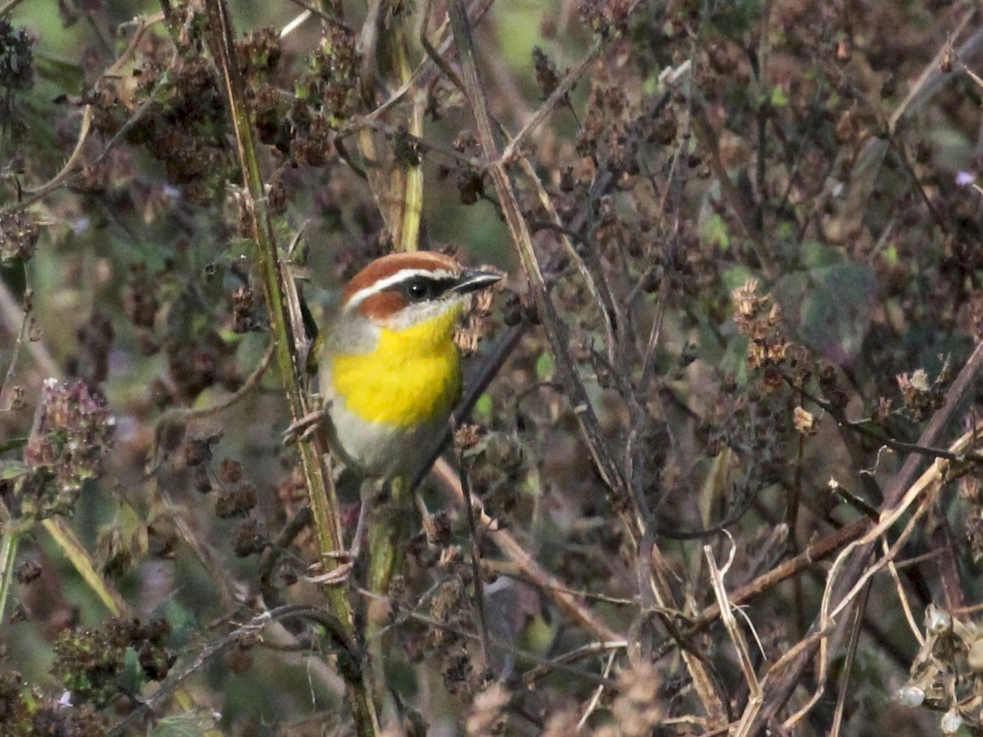 Rufous-capped Warbler - Charles Gates