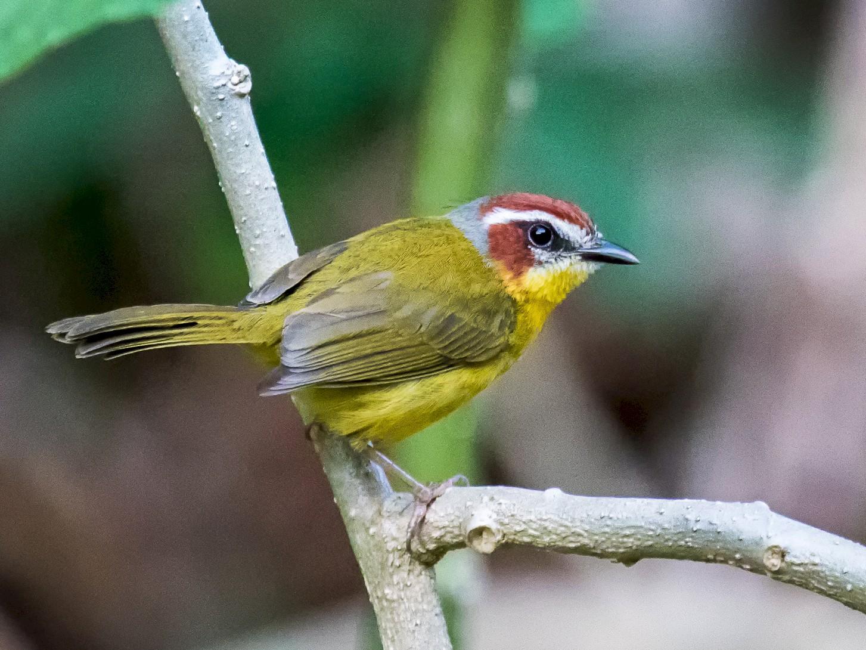 Rufous-capped Warbler - graichen & recer
