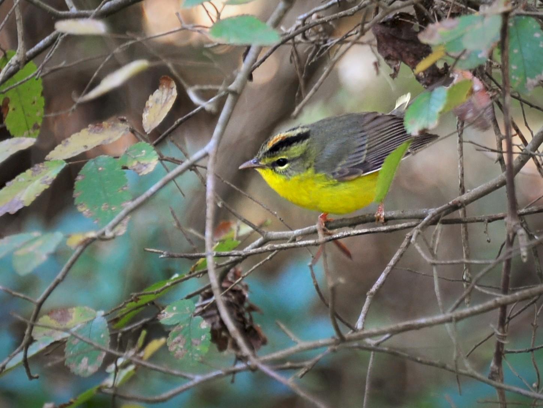 Golden-crowned Warbler - Bryan Calk