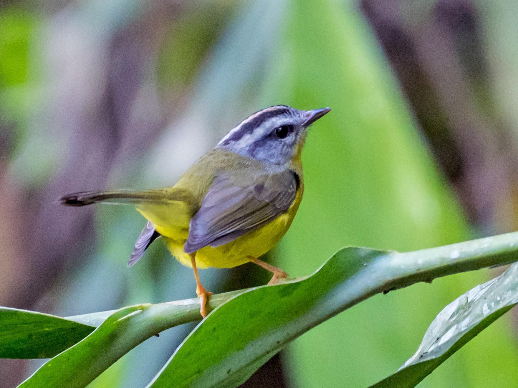 Golden-crowned Warbler - Hank Davis