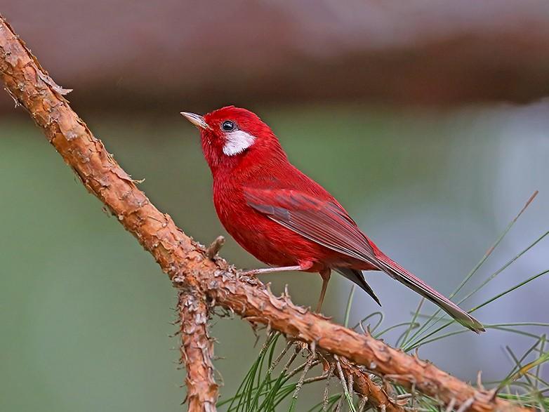 Red Warbler - Greg  Homel