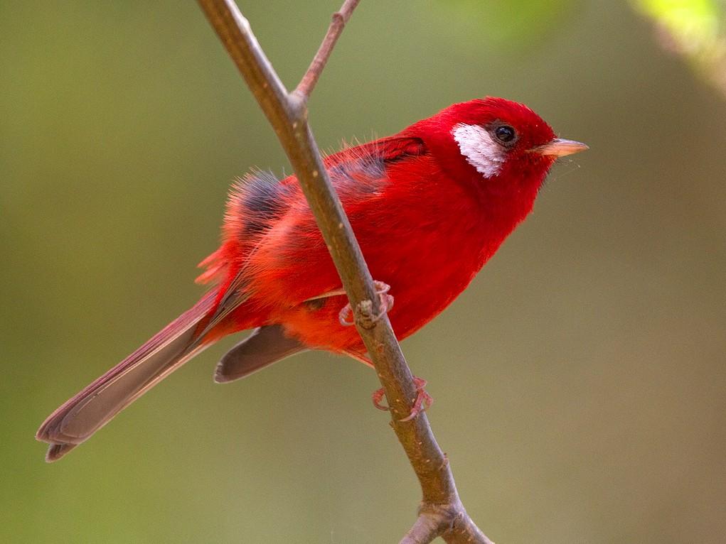 Red Warbler - Ryan Shaw