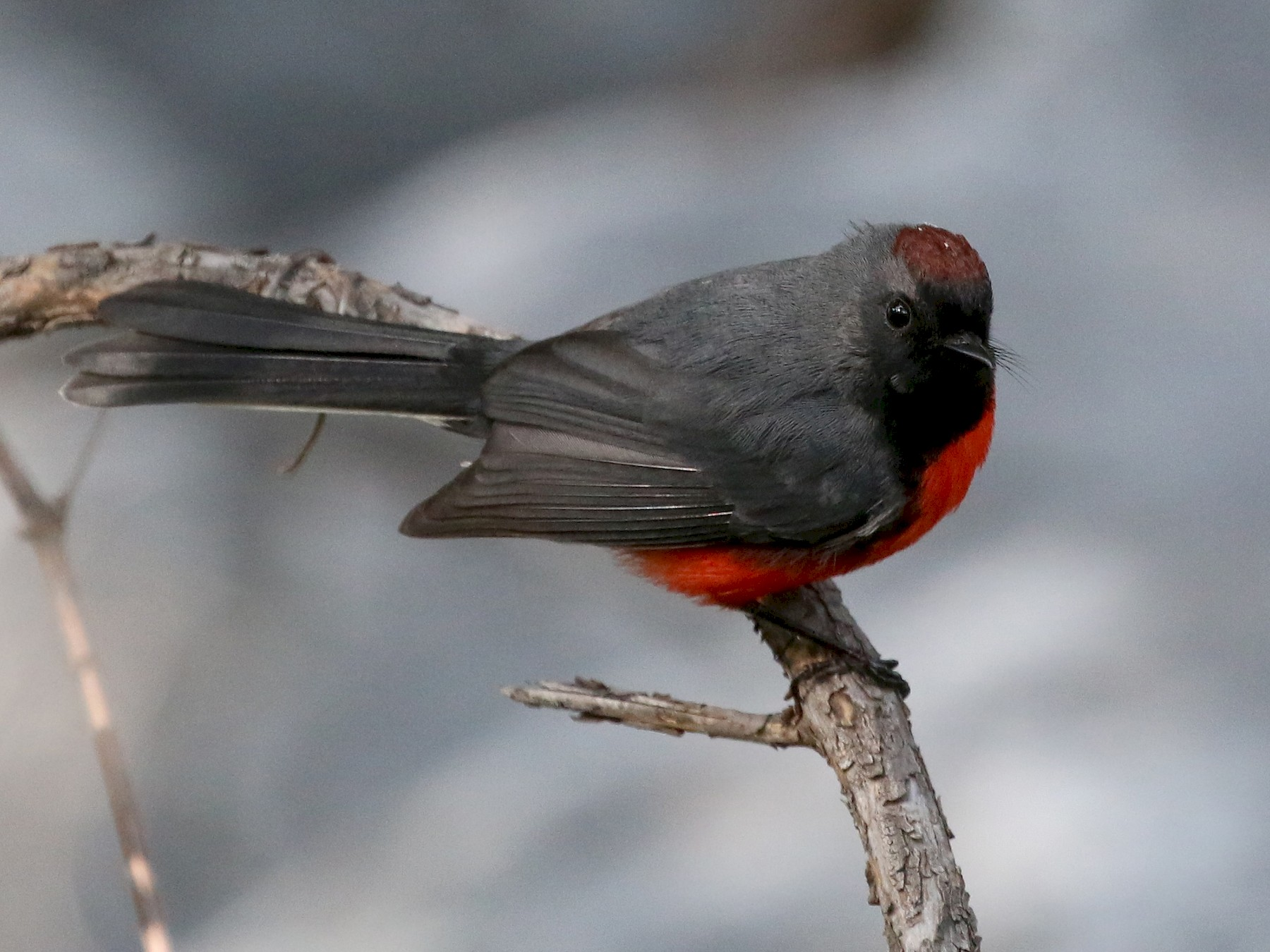 Slate-throated Redstart - David Stejskal