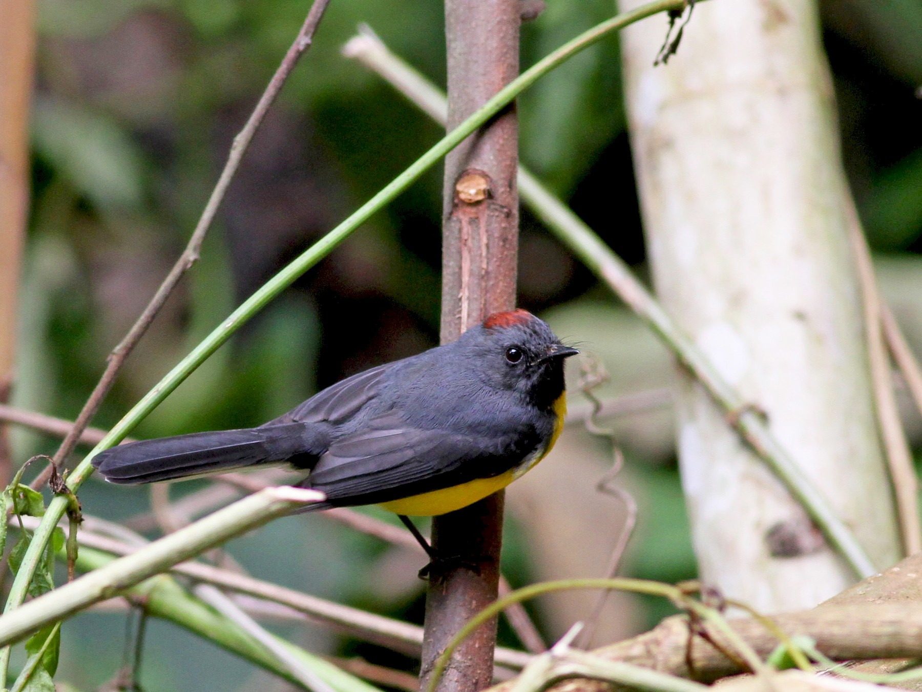 Slate-throated Redstart - Jay McGowan