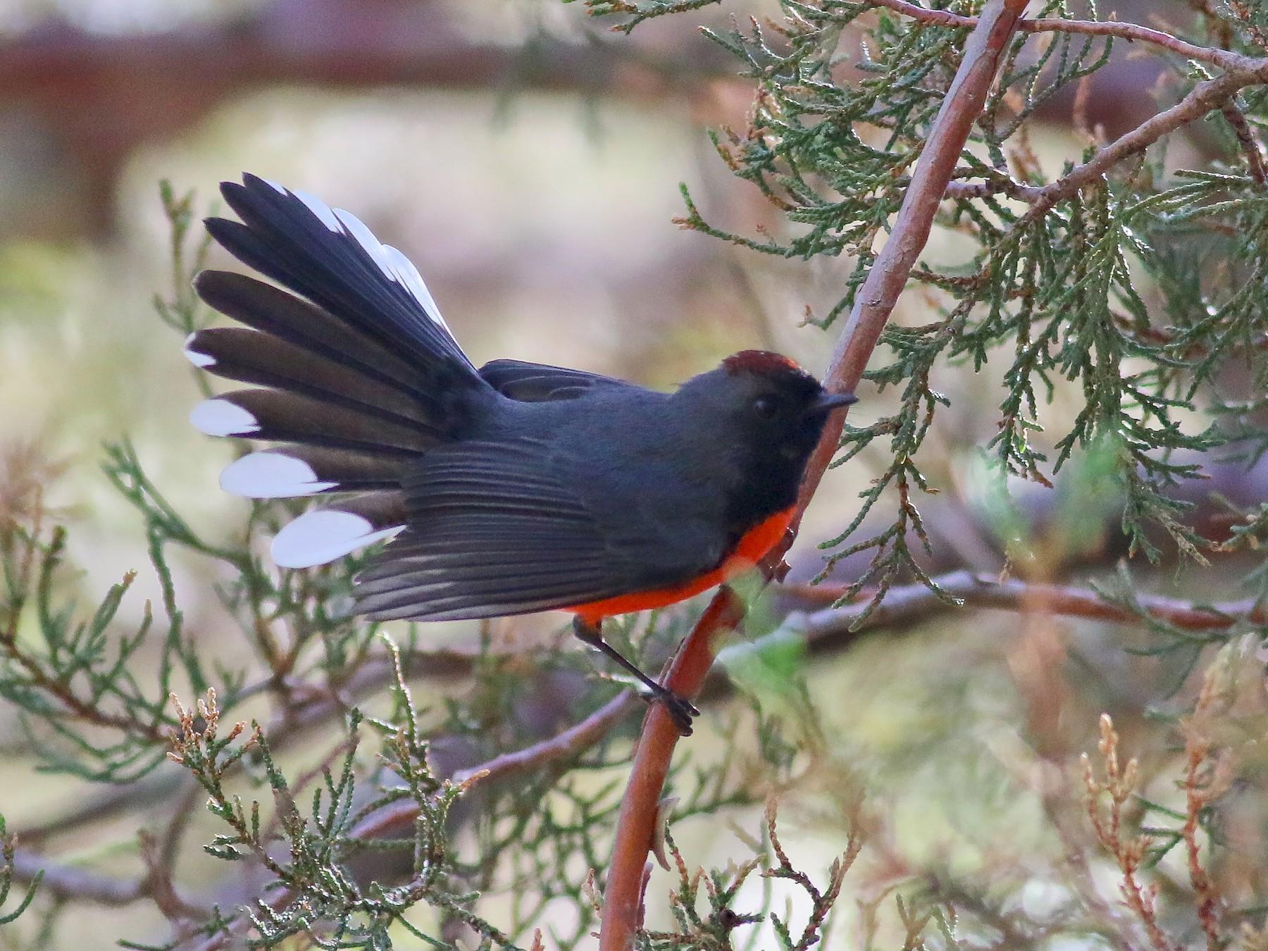 Slate-throated Redstart - Thomas Ford-Hutchinson
