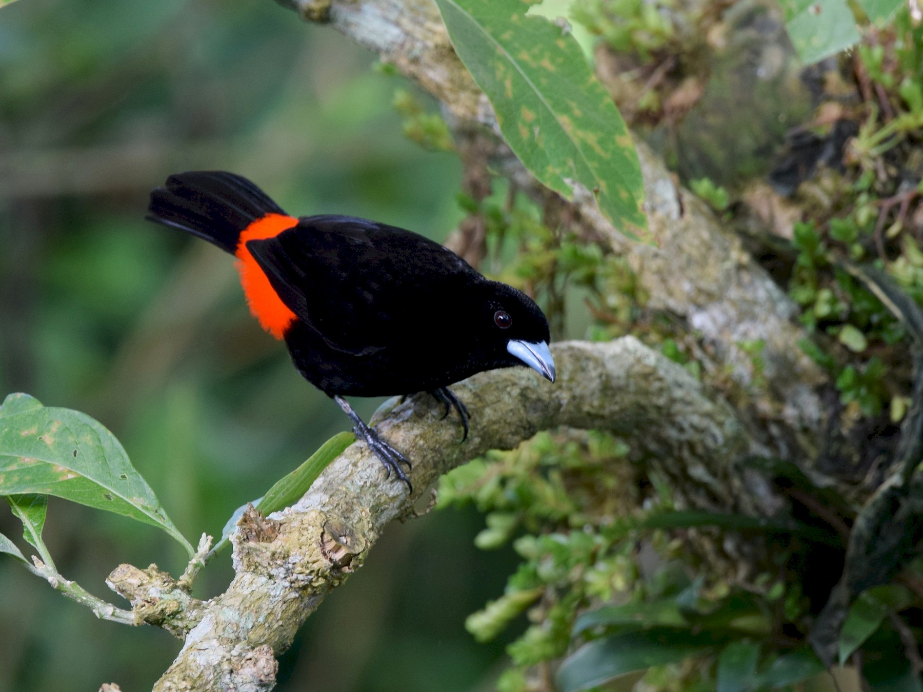 Scarlet-rumped Tanager - Andy Reago &  Chrissy McClarren
