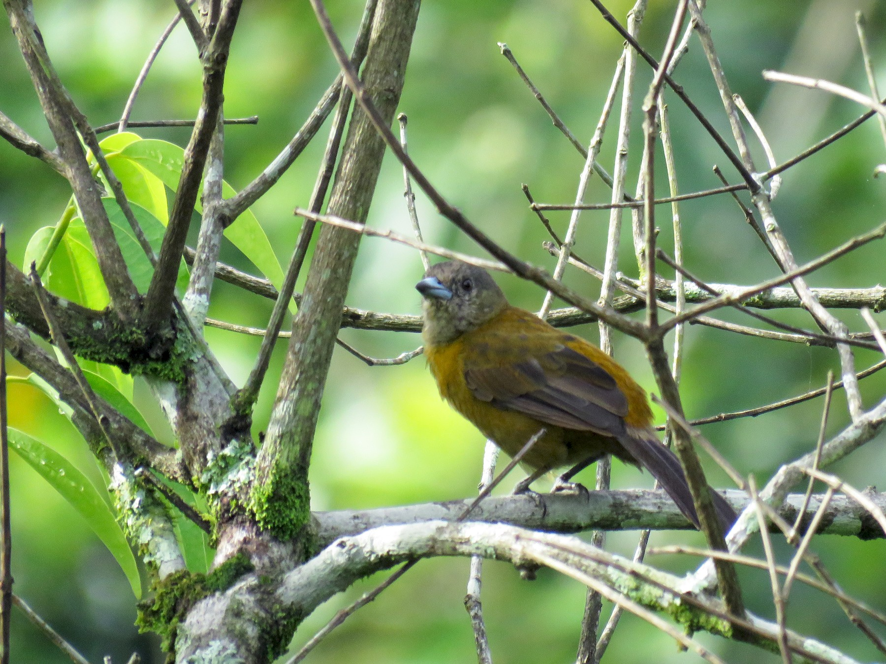 Scarlet-rumped Tanager - Guillermo Funes