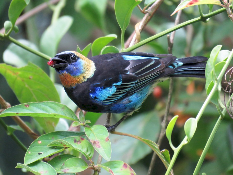 Golden-hooded Tanager - Seth Inman