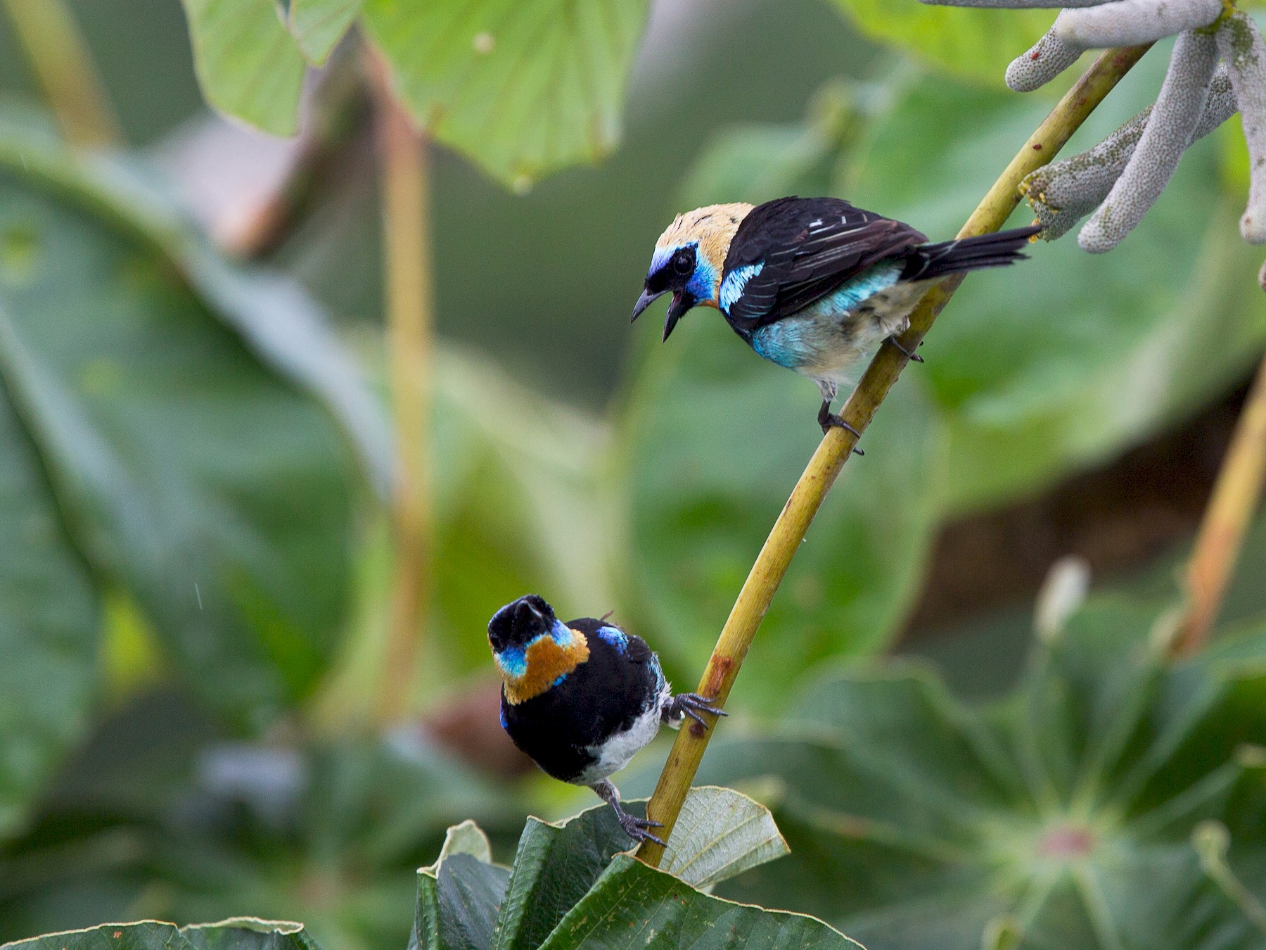 Golden-hooded Tanager - David Disher
