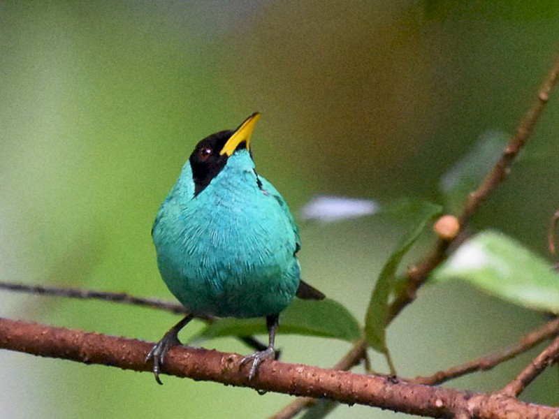 Green Honeycreeper - Anthony Vanderheyden