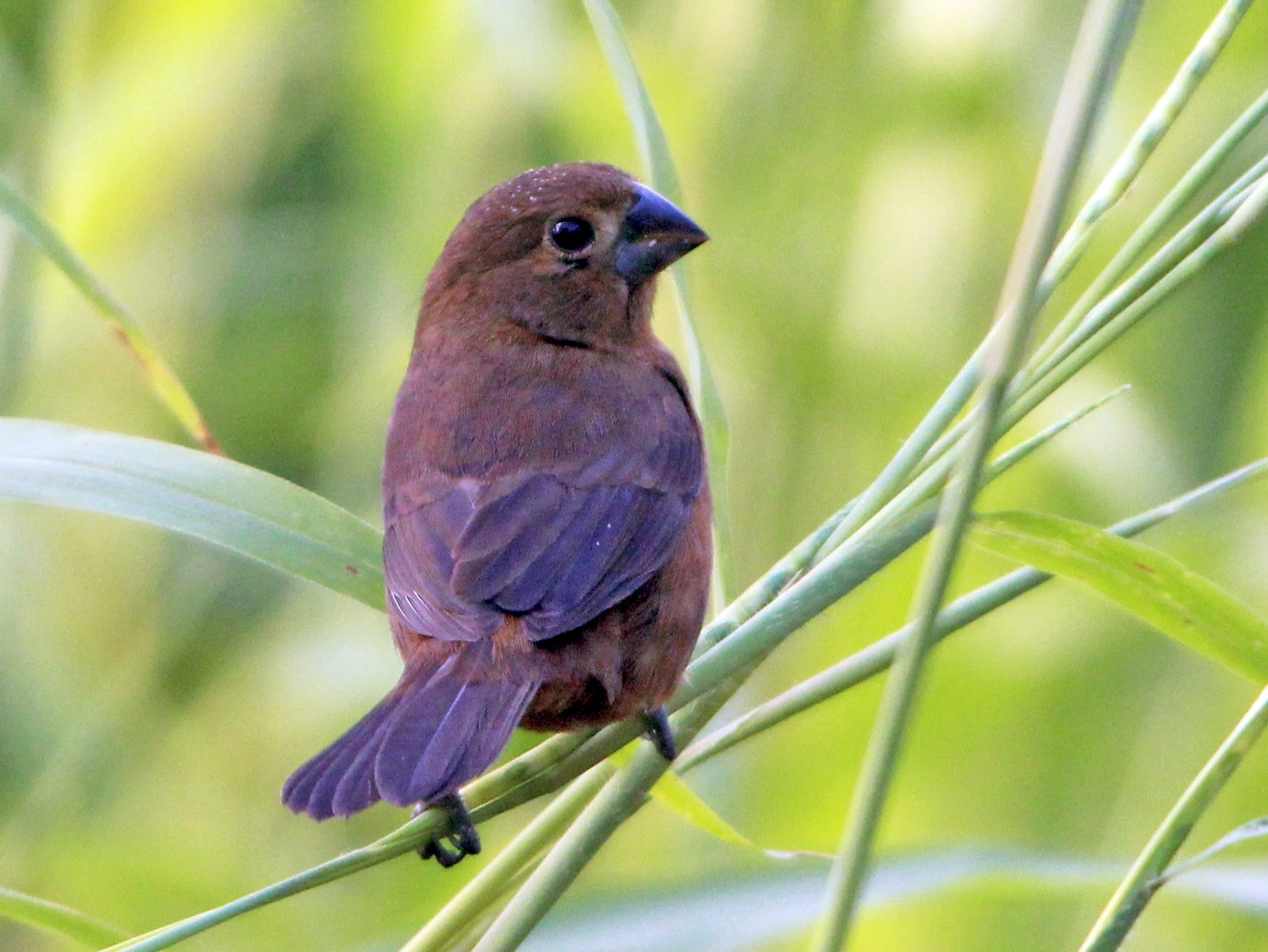 Thick-billed Seed-Finch - John Pike