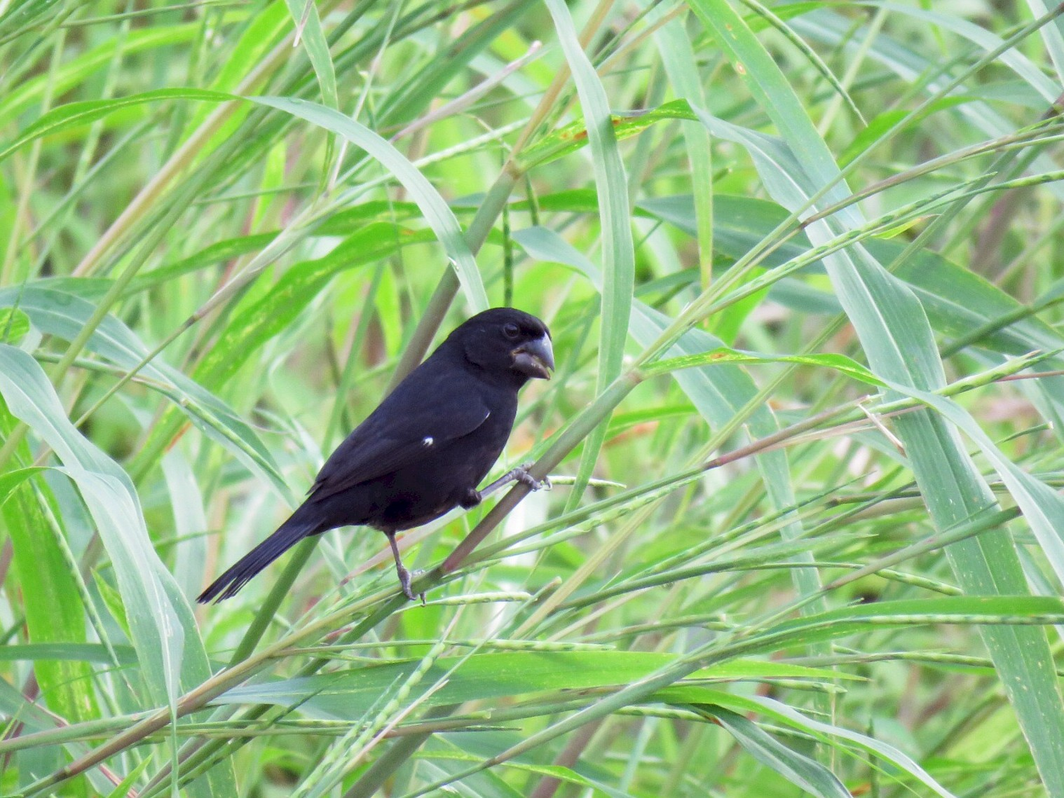 Thick-billed Seed-Finch - Alec Humann
