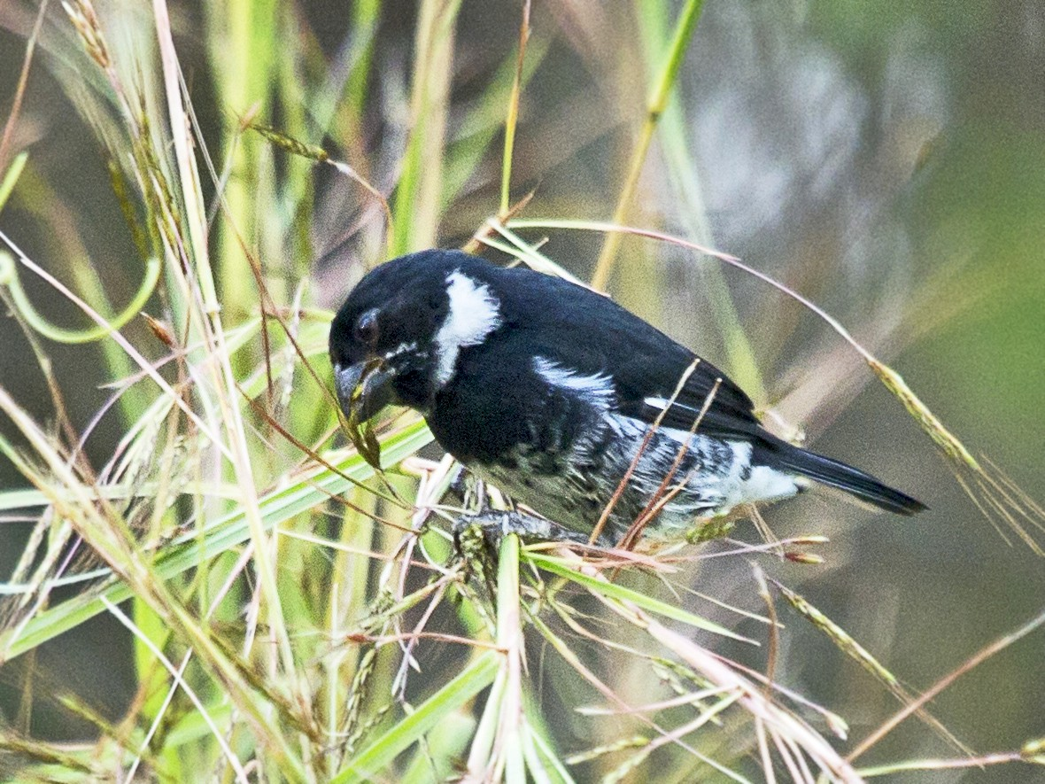 Variable Seedeater - Penny Bauer