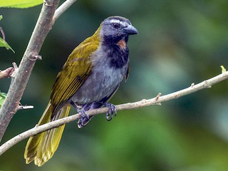 - Buff-throated Saltator