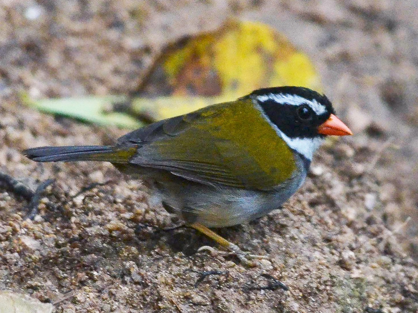 Orange-billed Sparrow - Nikolaj Mølgaard Thomsen