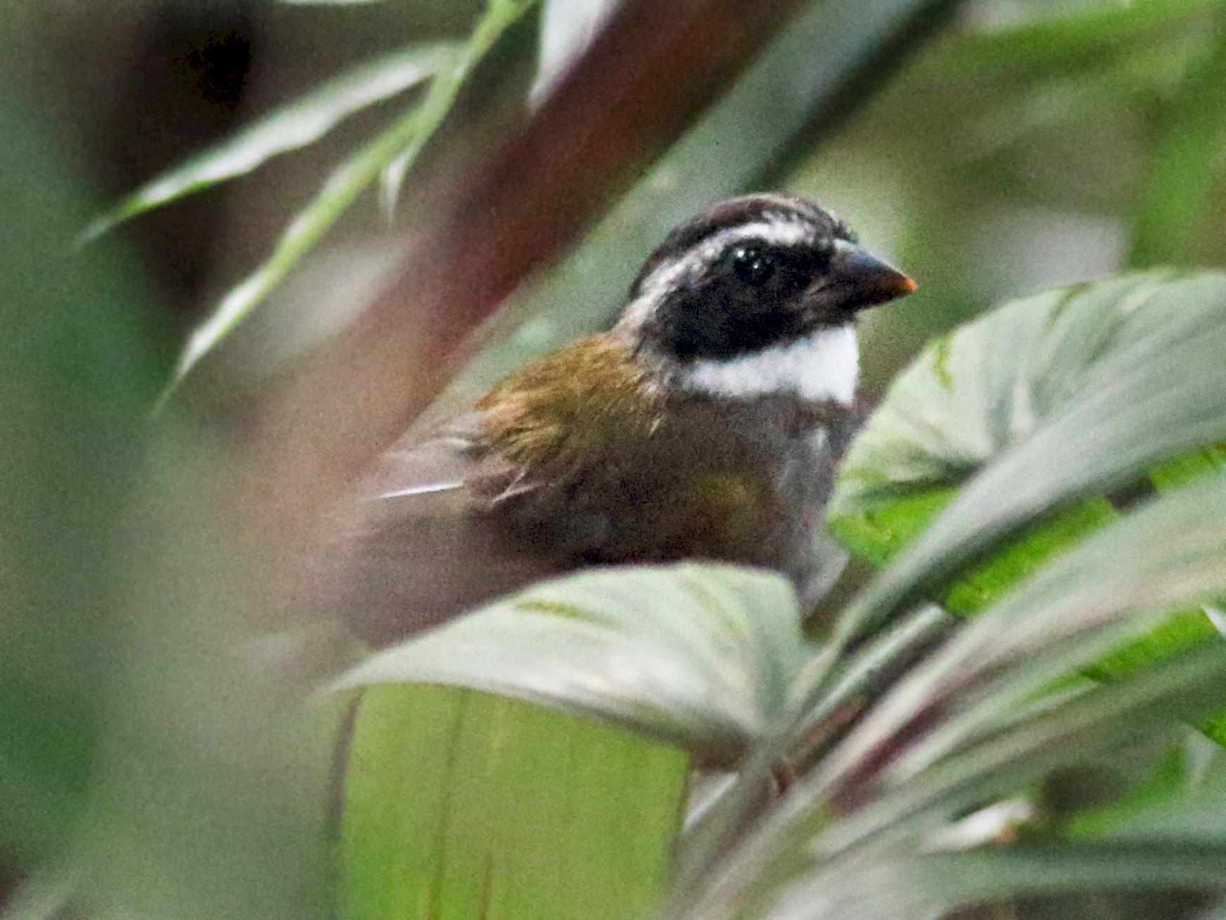 Orange-billed Sparrow - Rick Folkening