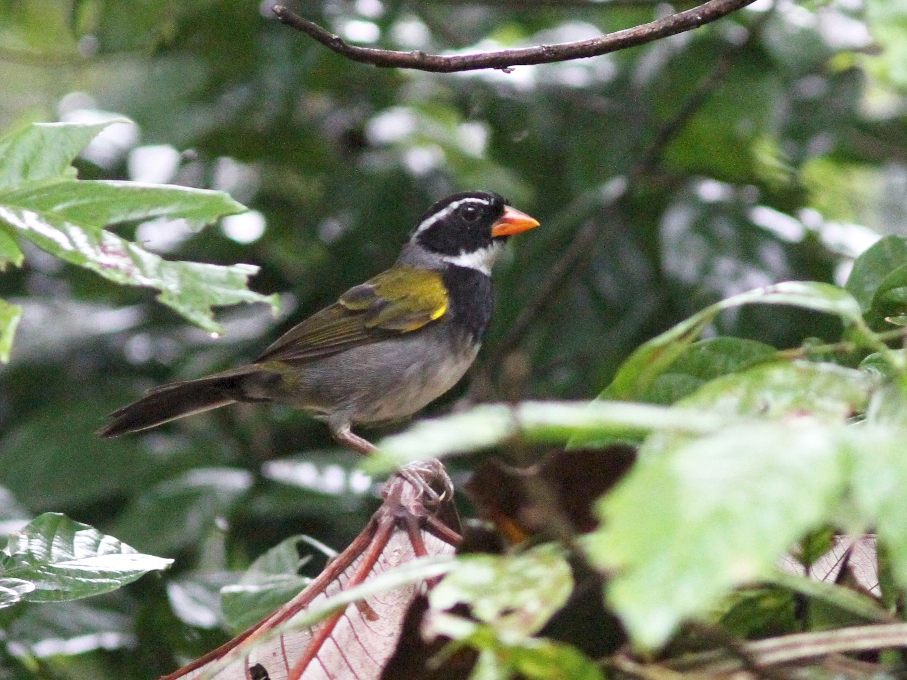 Orange-billed Sparrow - Sean Fitzgerald