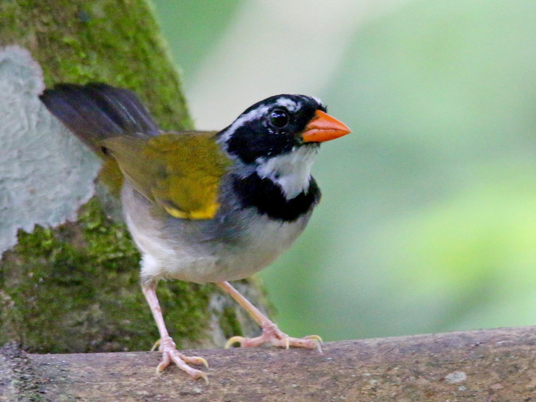 Orange-billed Sparrow - Gustino Lanese