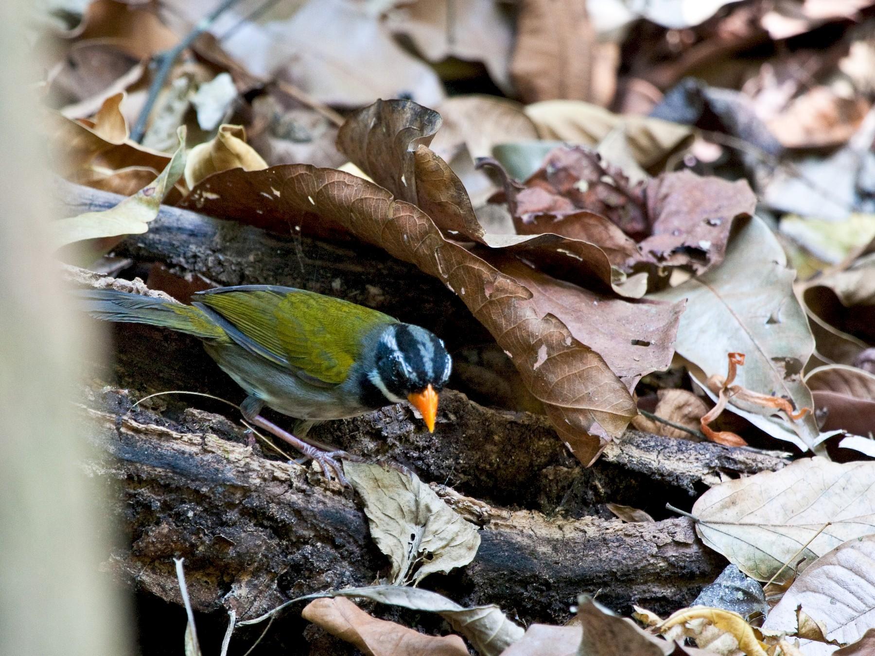 Orange-billed Sparrow - Brian Healy