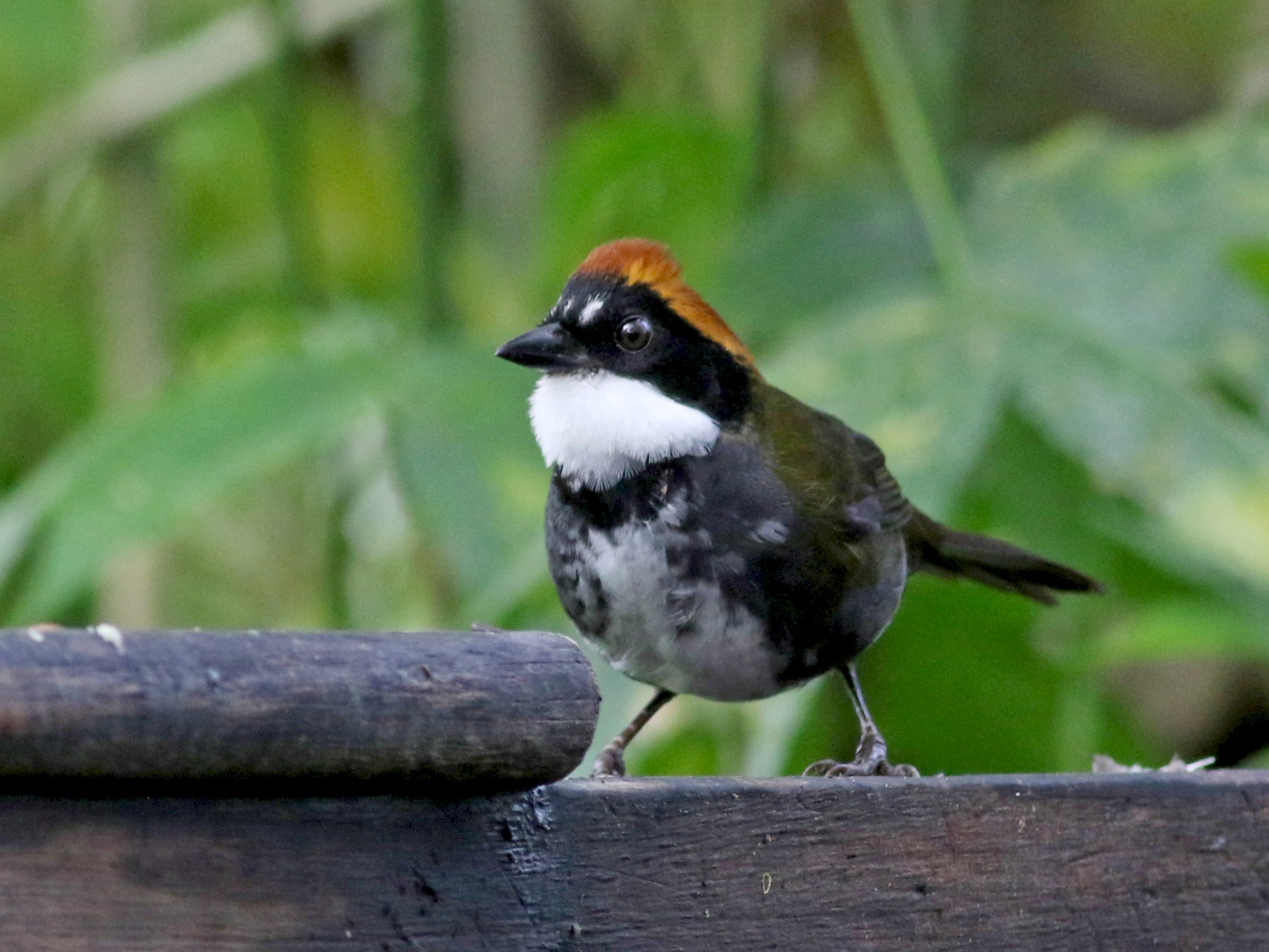 Chestnut-capped Brushfinch - Jay McGowan