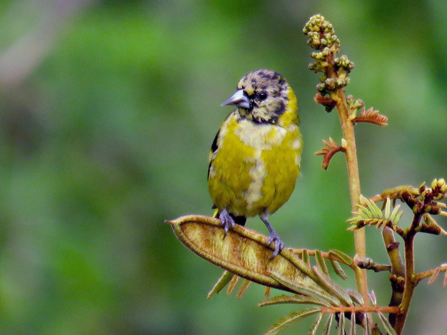Black-headed Siskin - John van Dort