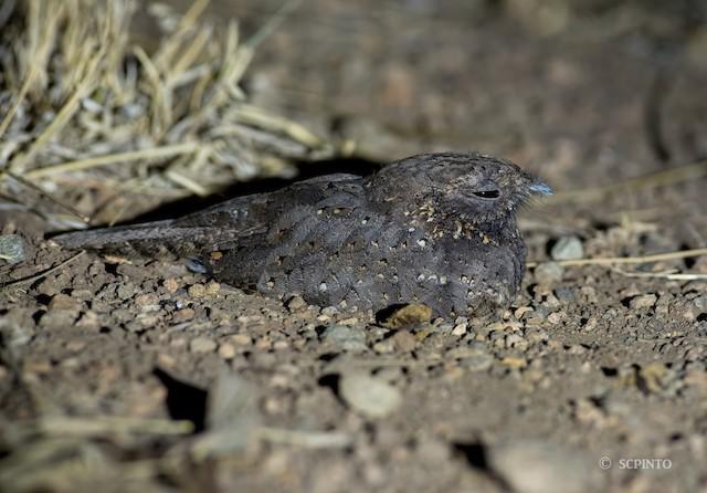Star-spotted Nightjar