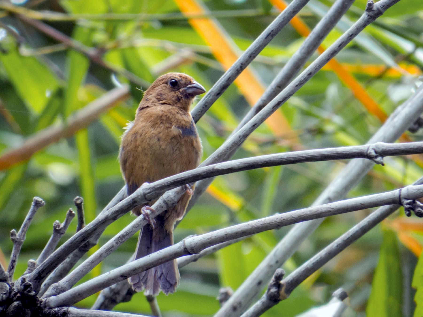 Blue Seedeater - Josue  de León Lux (Birding Guide) josuedeleonlux@gmail.com +502 3068 8988