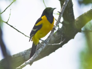 - Bar-winged Oriole