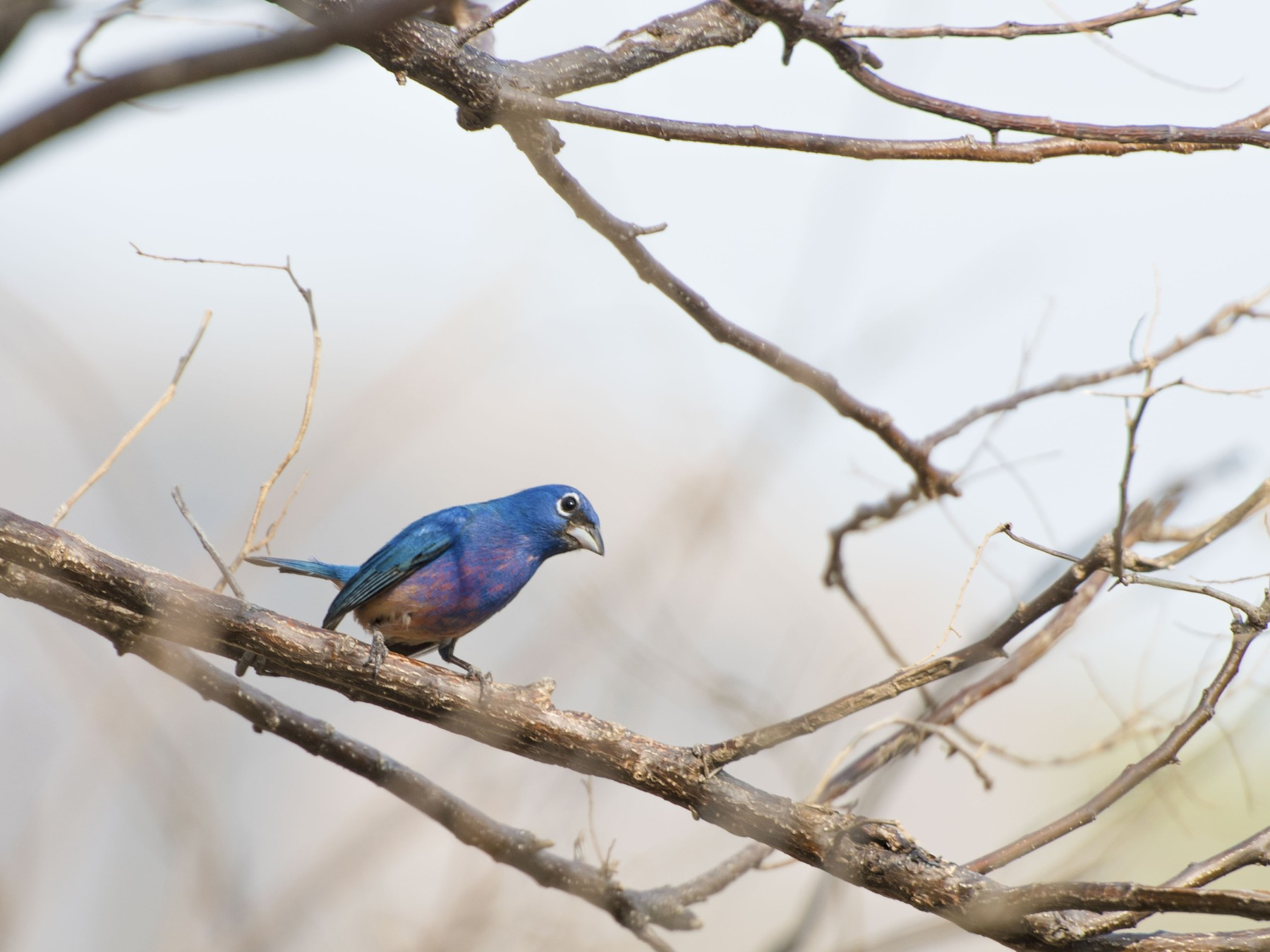 Rose-bellied Bunting - Alberto Martinez RoyalFlycatcher Birding & Nature Photography Tours