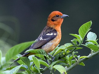 - Flame-colored Tanager