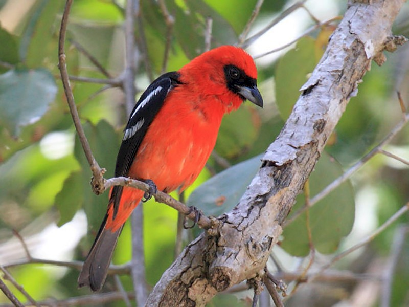 White-winged Tanager - Tom Murray