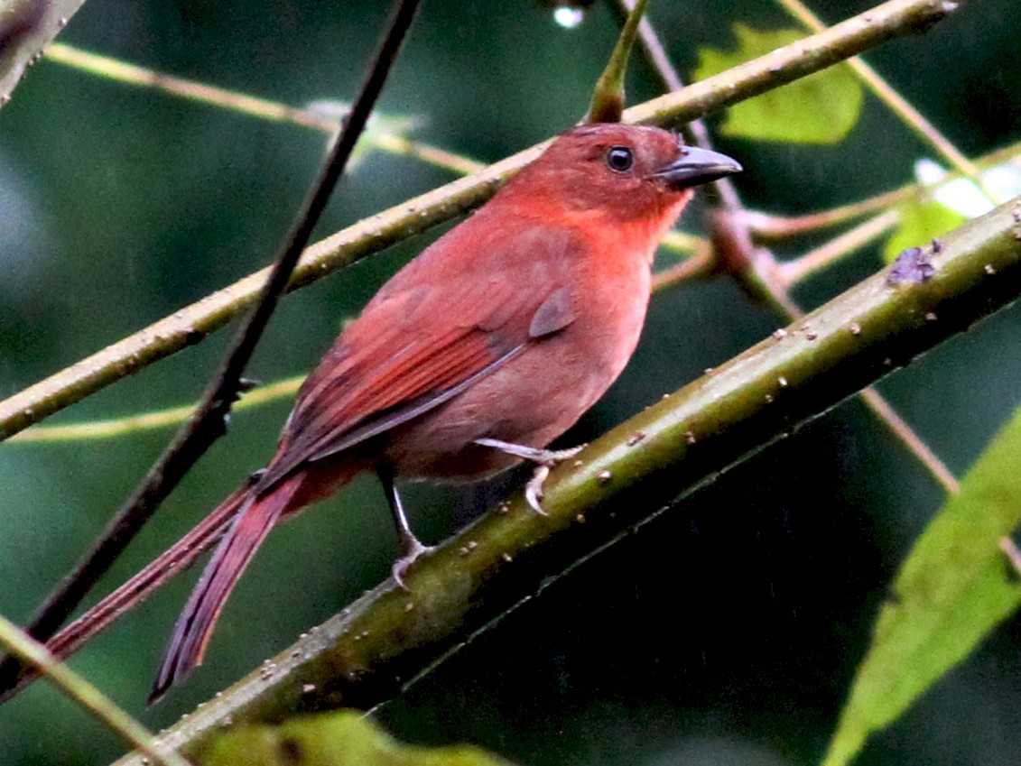 Red-crowned Ant-Tanager - Georges Duriaux