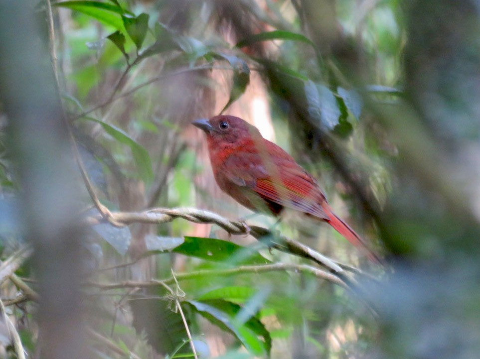 Red-crowned Ant-Tanager - Adrian Antunez