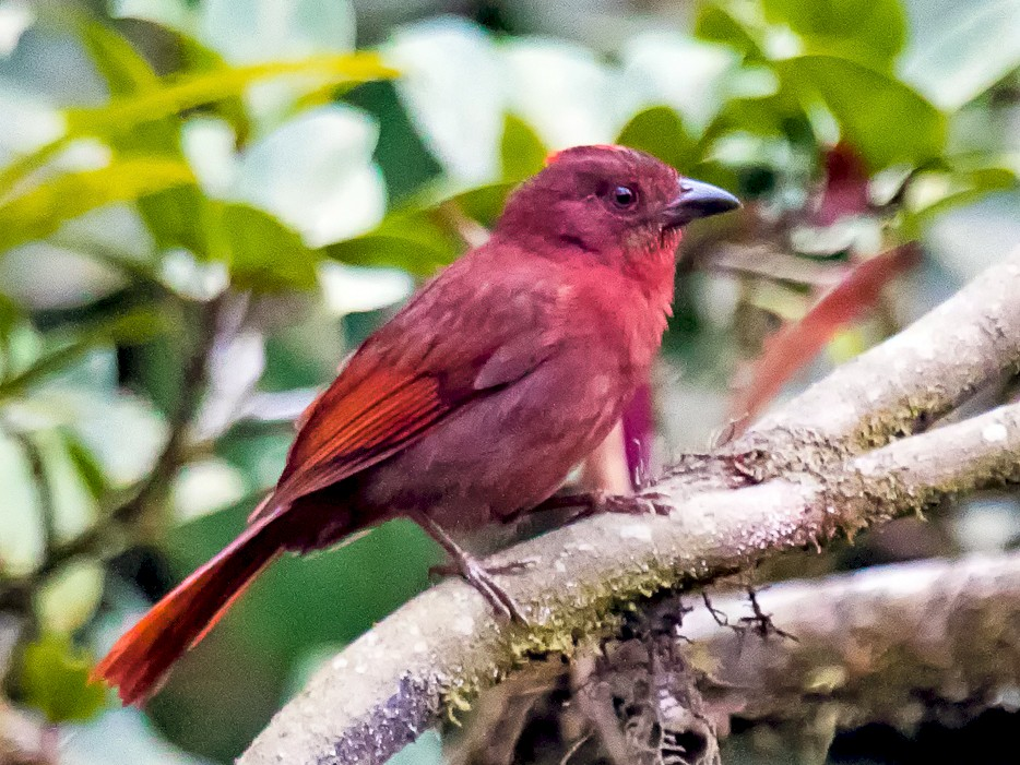Red-crowned Ant-Tanager - graichen & recer