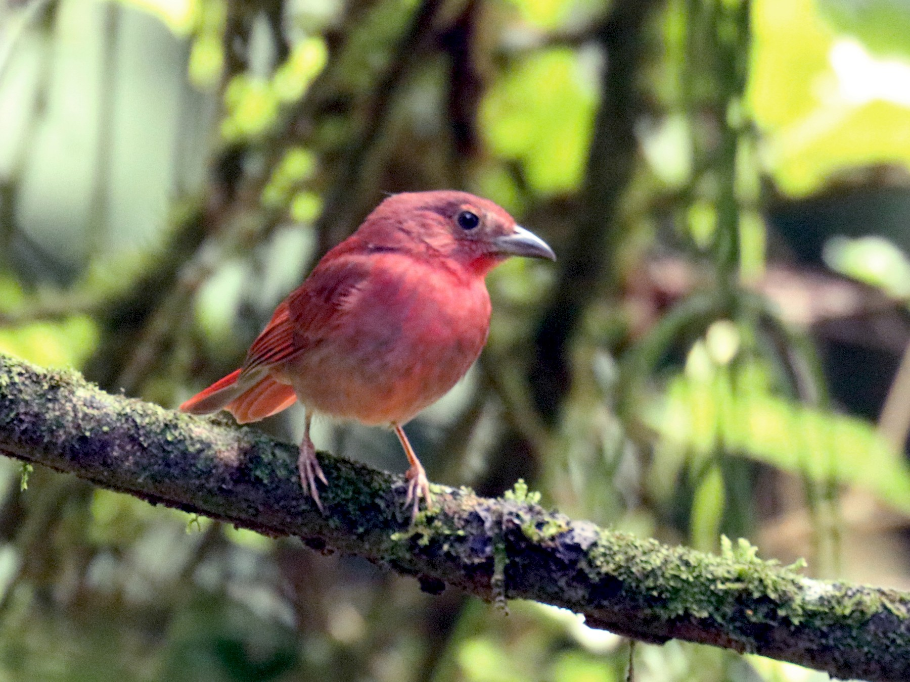 Red-crowned Ant-Tanager - Andrew and Rebecca Steinmann