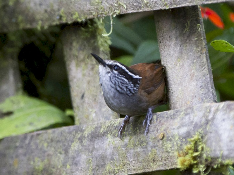 Gray-breasted Wood-Wren - Michael Todd