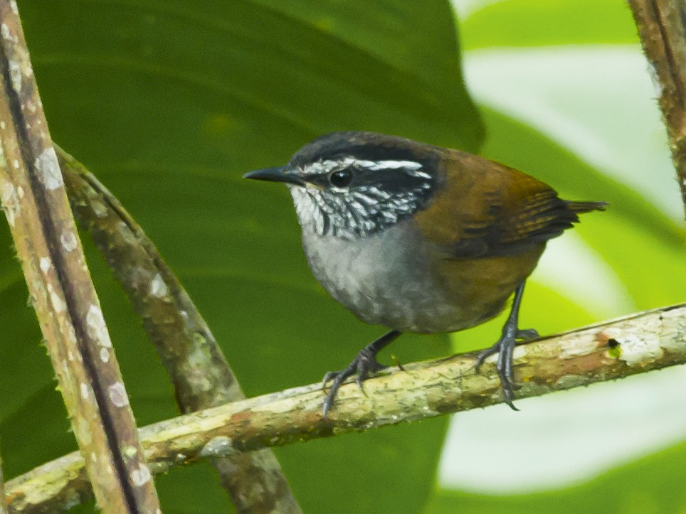 Gray-breasted Wood-Wren - Neil Diaz