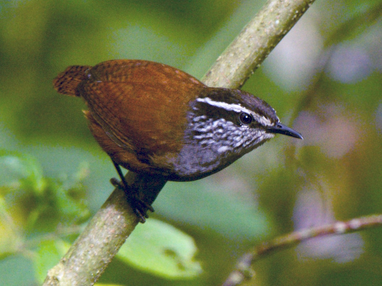 Gray-breasted Wood-Wren - Cory Gregory
